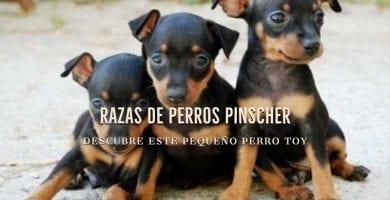 razas de perros pinscher