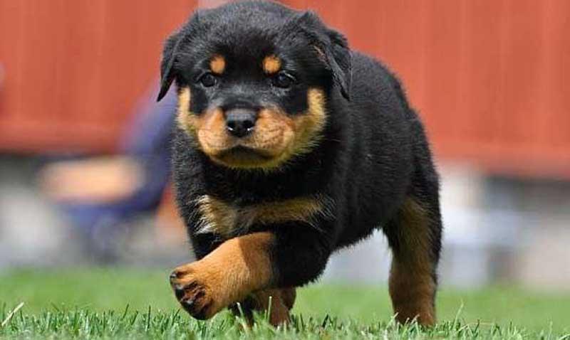 razas de perros rottweiler cachorros