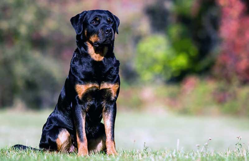 razas de perros rottweiler