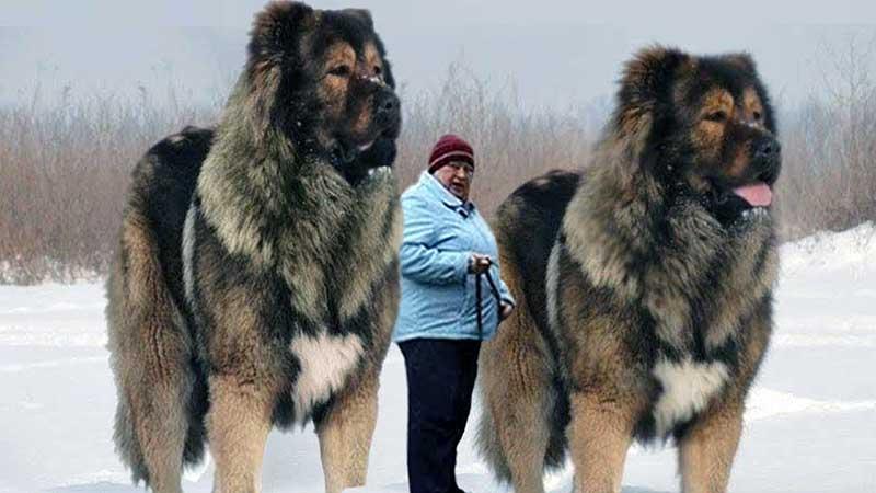 razas gigantes de perros