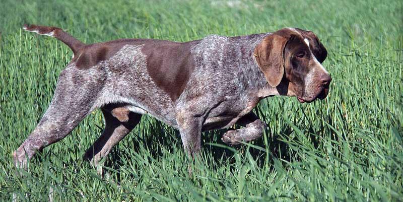 sabueso bloodhound