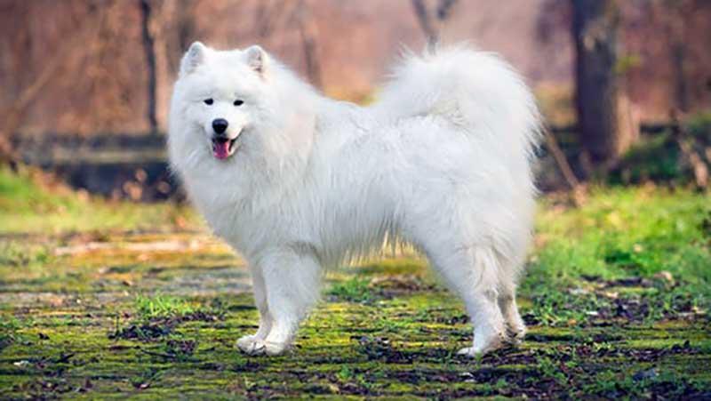 samoyedo blanco