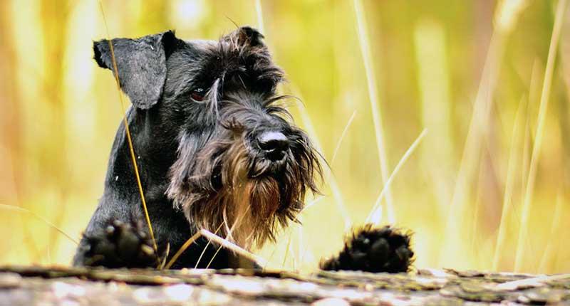 schnauzer raza de perro