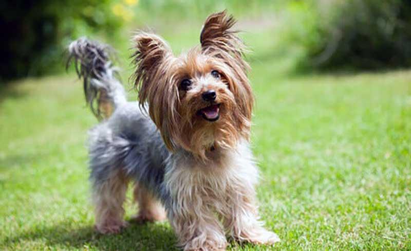 yorkshire terrier cachorro
