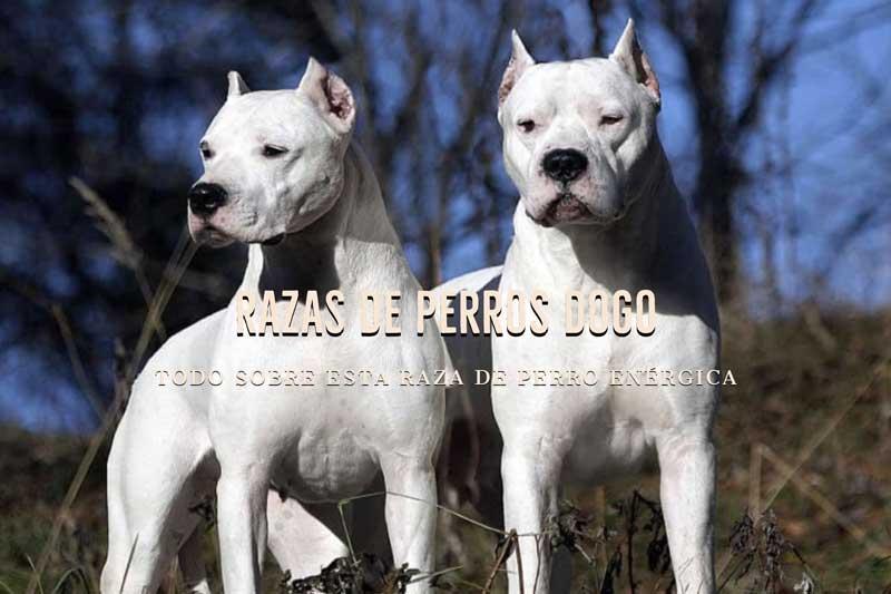 Razas de Perros Dogo