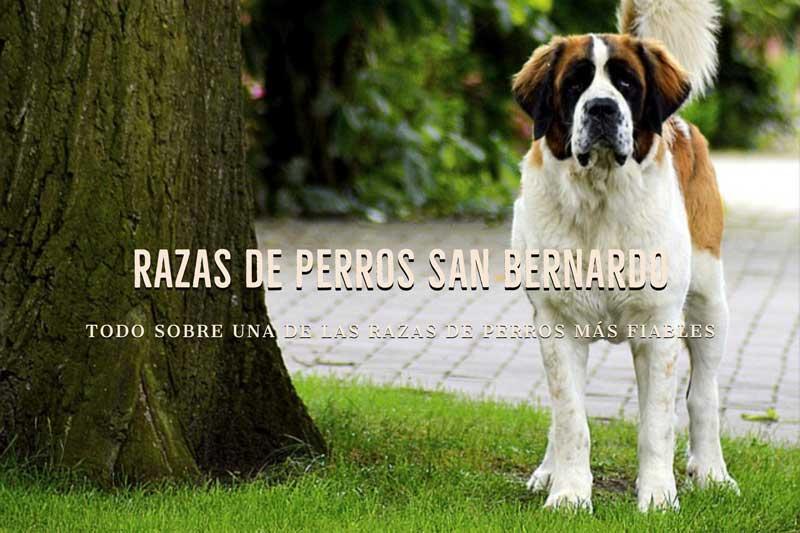 Razas de Perros San Bernardo