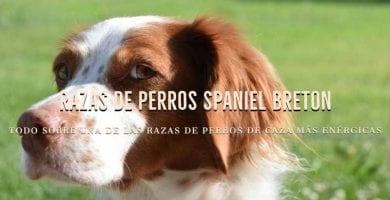 Razas de Perros Spaniel Breton