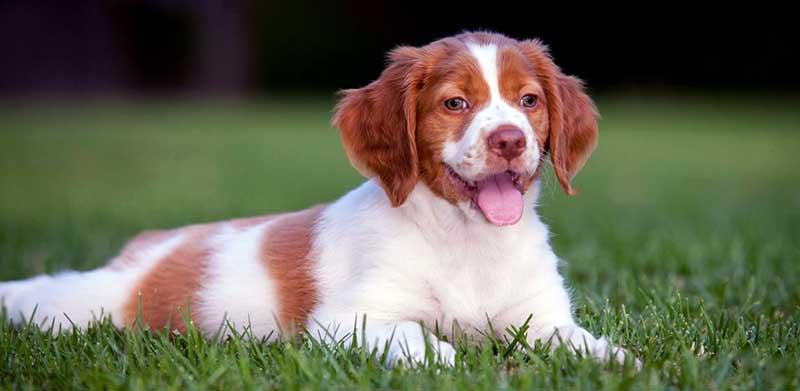 breton cachorro