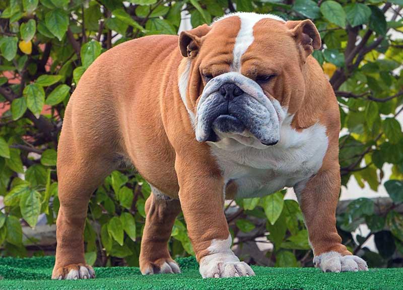 bull dog ingles