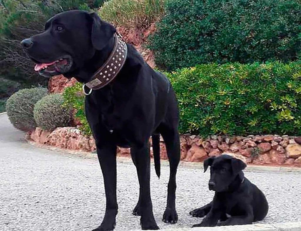 ca de bestiar cachorro
