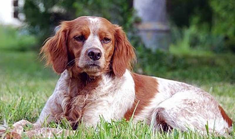 cachorro spaniel breton