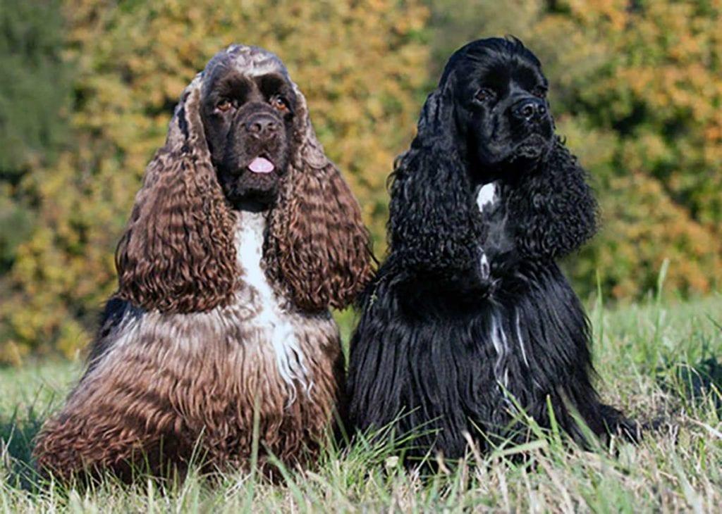 cachorros cocker spaniel americano