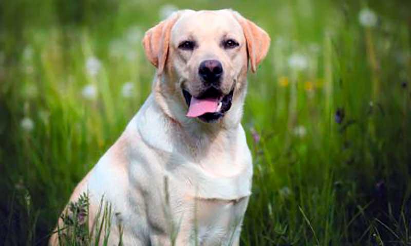 caracteristicas del perro labrador