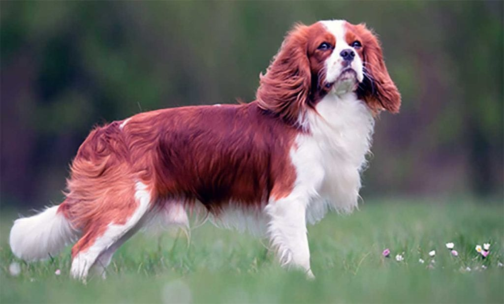 cavalier perro
