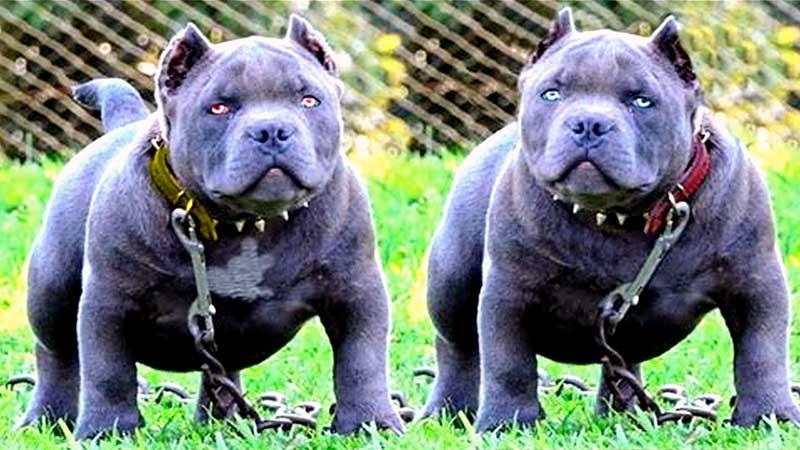 clases de razas de perros pitbull