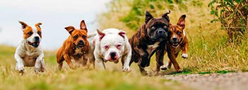 cuantas razas de perros pitbull existen