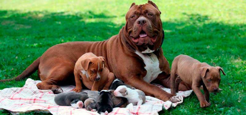 diferentes razas de perros pitbull