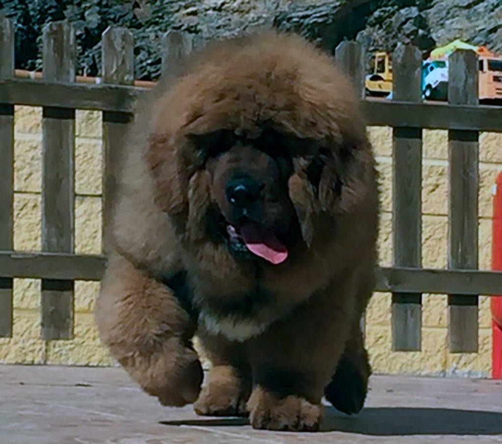 dogo del tibet cachorro