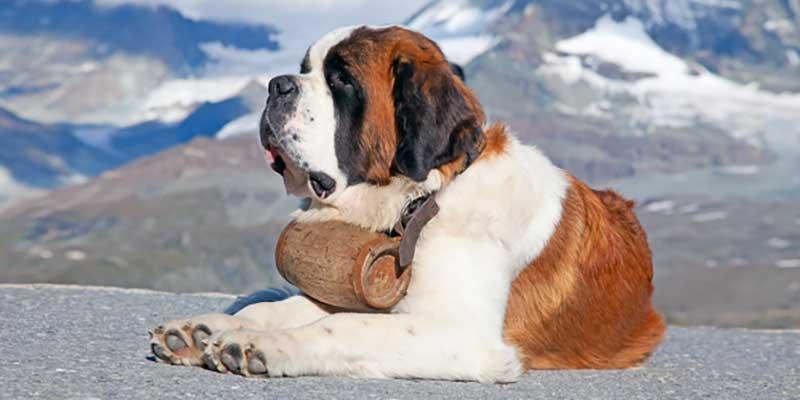 fotos de san bernardo perros