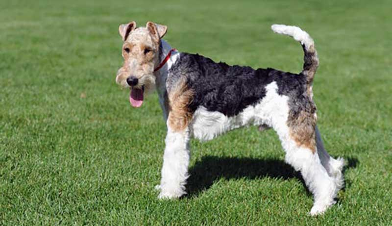 fox terrier cachorro