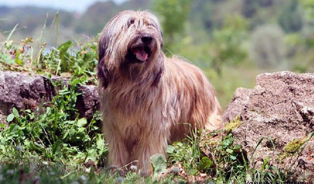 pastor catalan cachorro