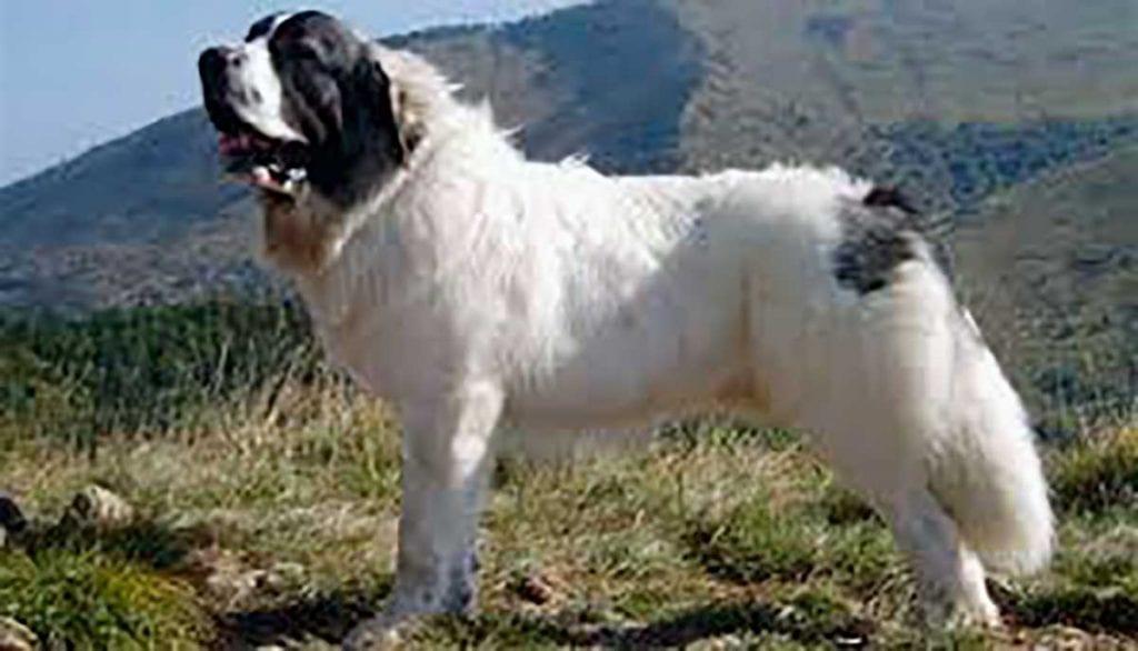 pastor de los pirineos