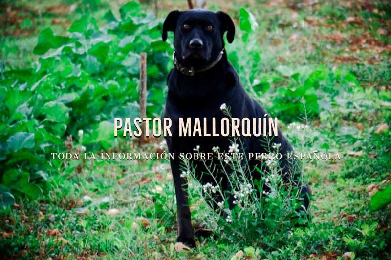 pastor mallorquin precio