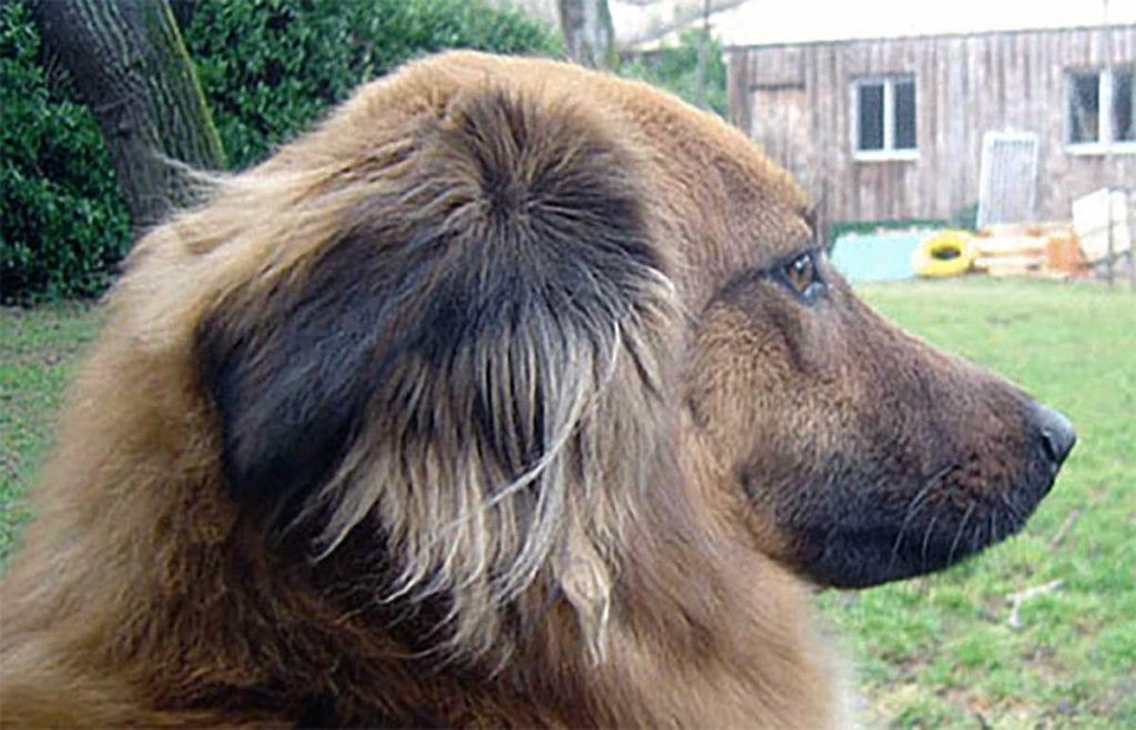 pastor vasco cachorro