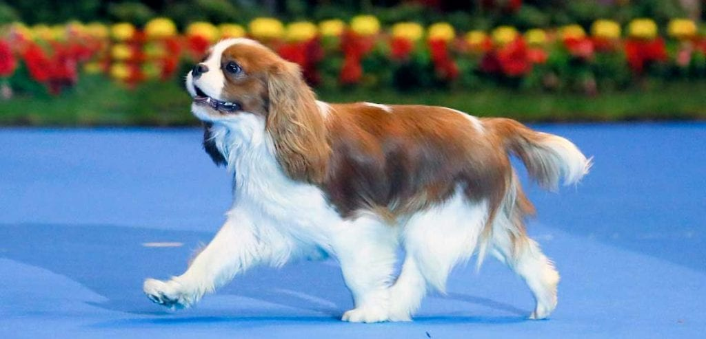 perro cavalier