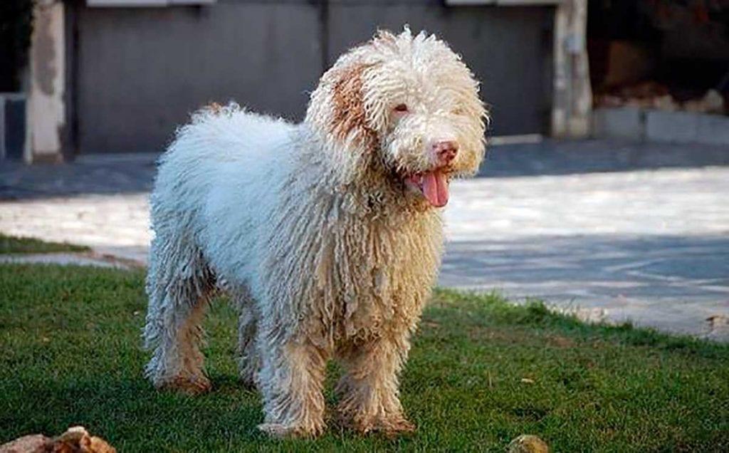 perro de agua español caracter