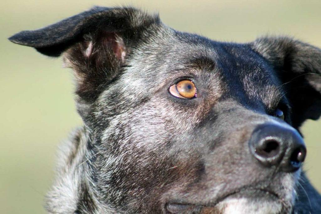 perro de ganado majorero