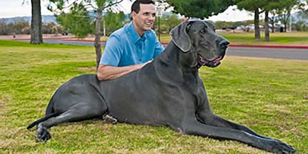 perro dogo aleman