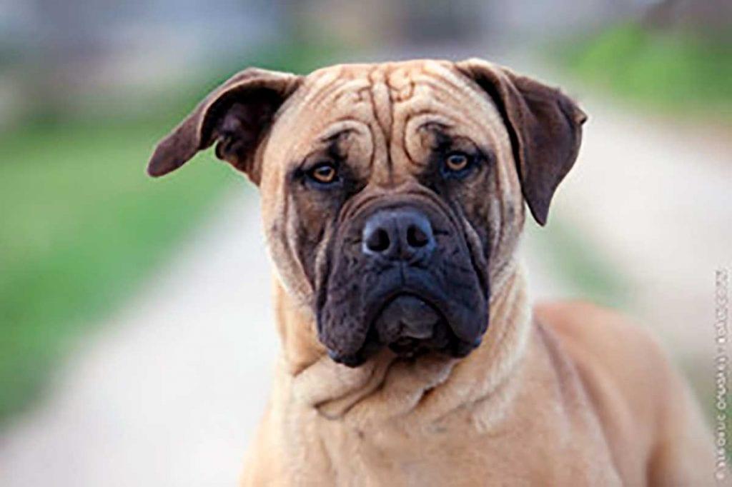 perro dogo mallorquín