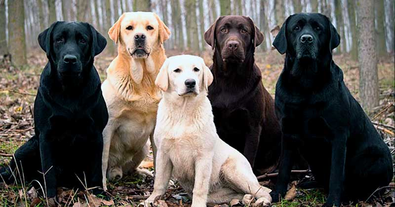 perro labrador negro