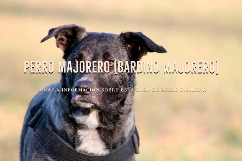 perro majorero bardino majorero