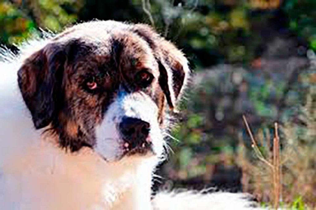 perro mastin del pirineo