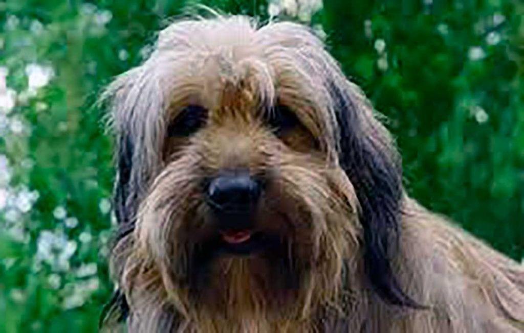 perro pastor catalan