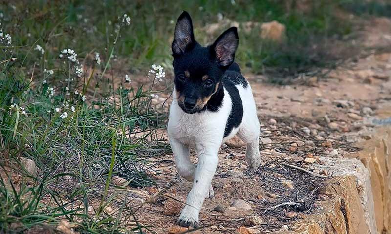 perro ratonero bodeguero andaluz