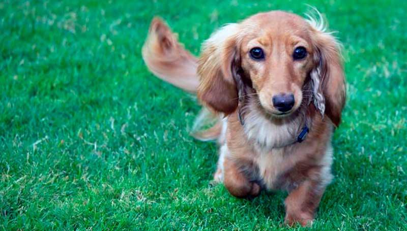 perro raza teckel