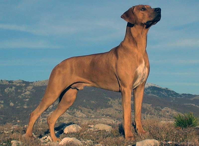 perro rhodesian