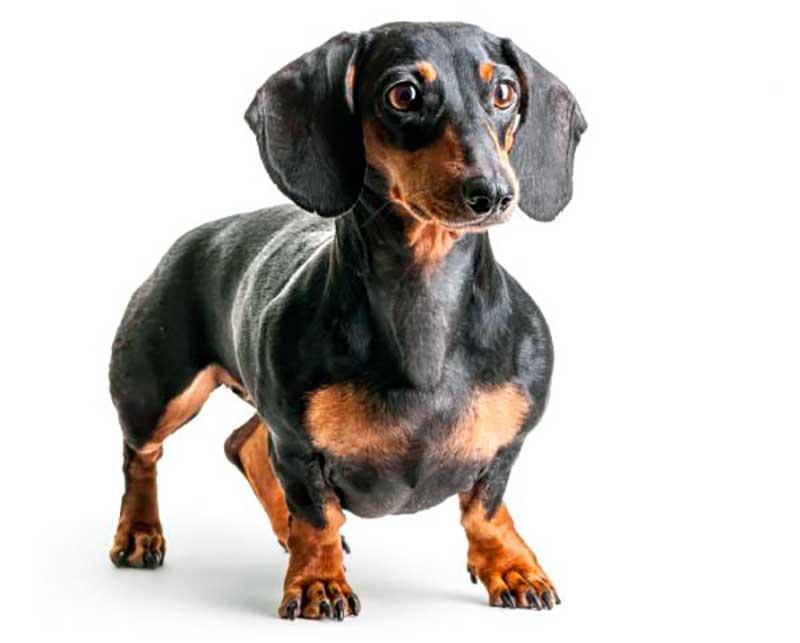 perro salchicha teckel