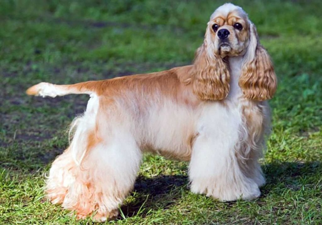 perros cocker spaniel americano