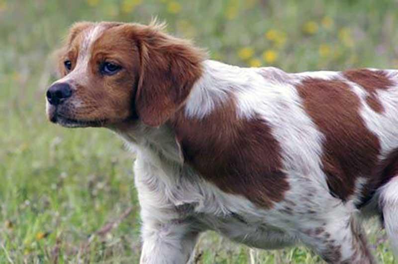 perros de caza razas