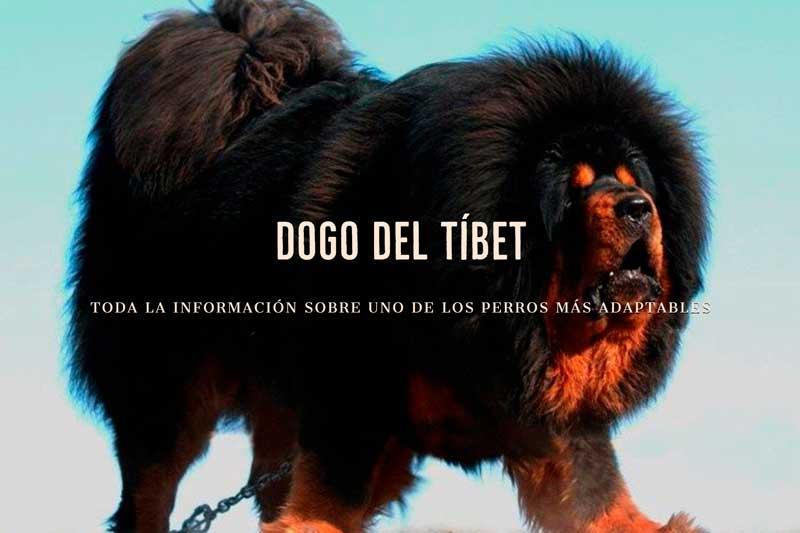perros dogo del tibet