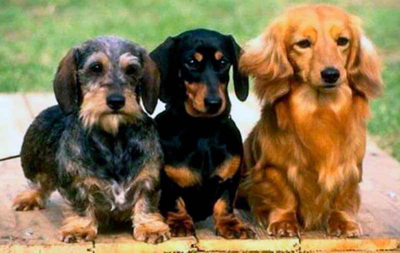 perros salchicha adopcion