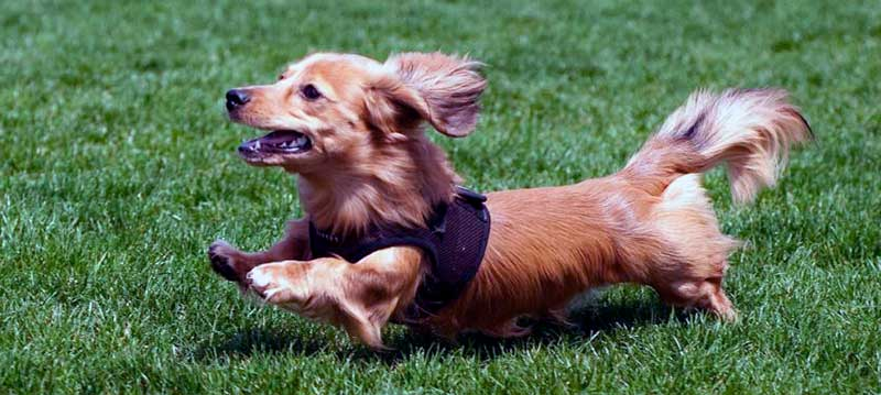 perros salchicha mini