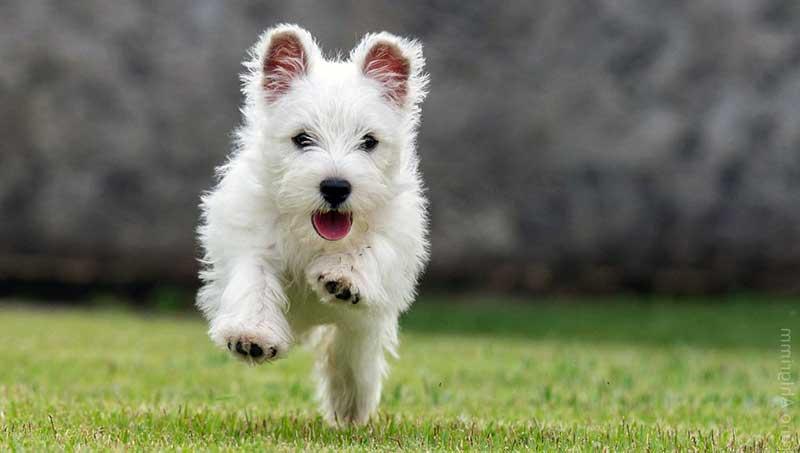 perros westy terrier