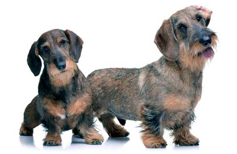 raza de perro teckel