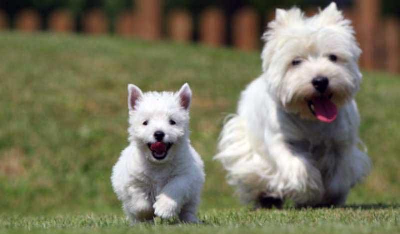 raza de perros westy