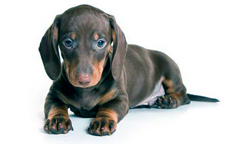raza perro teckel